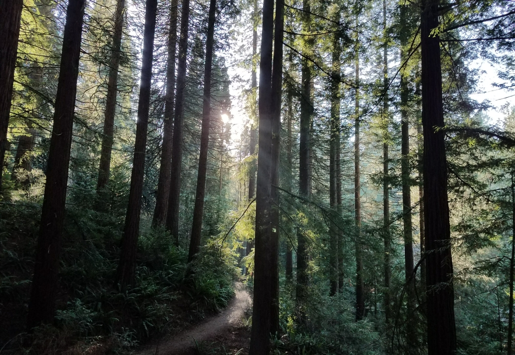 Hiking path stretches into the distance in a dense forest with the sun peeking through the trees.